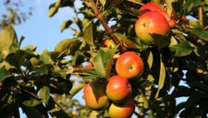 Apple Tree Wallpapers HD
