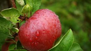 Apple Tree Widescreen