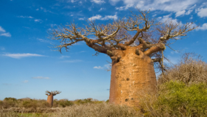 Baobab Computer Wallpaper