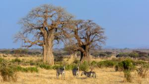 Baobab Desktop Wallpaper