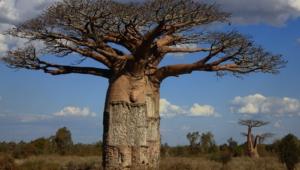 Baobab Download