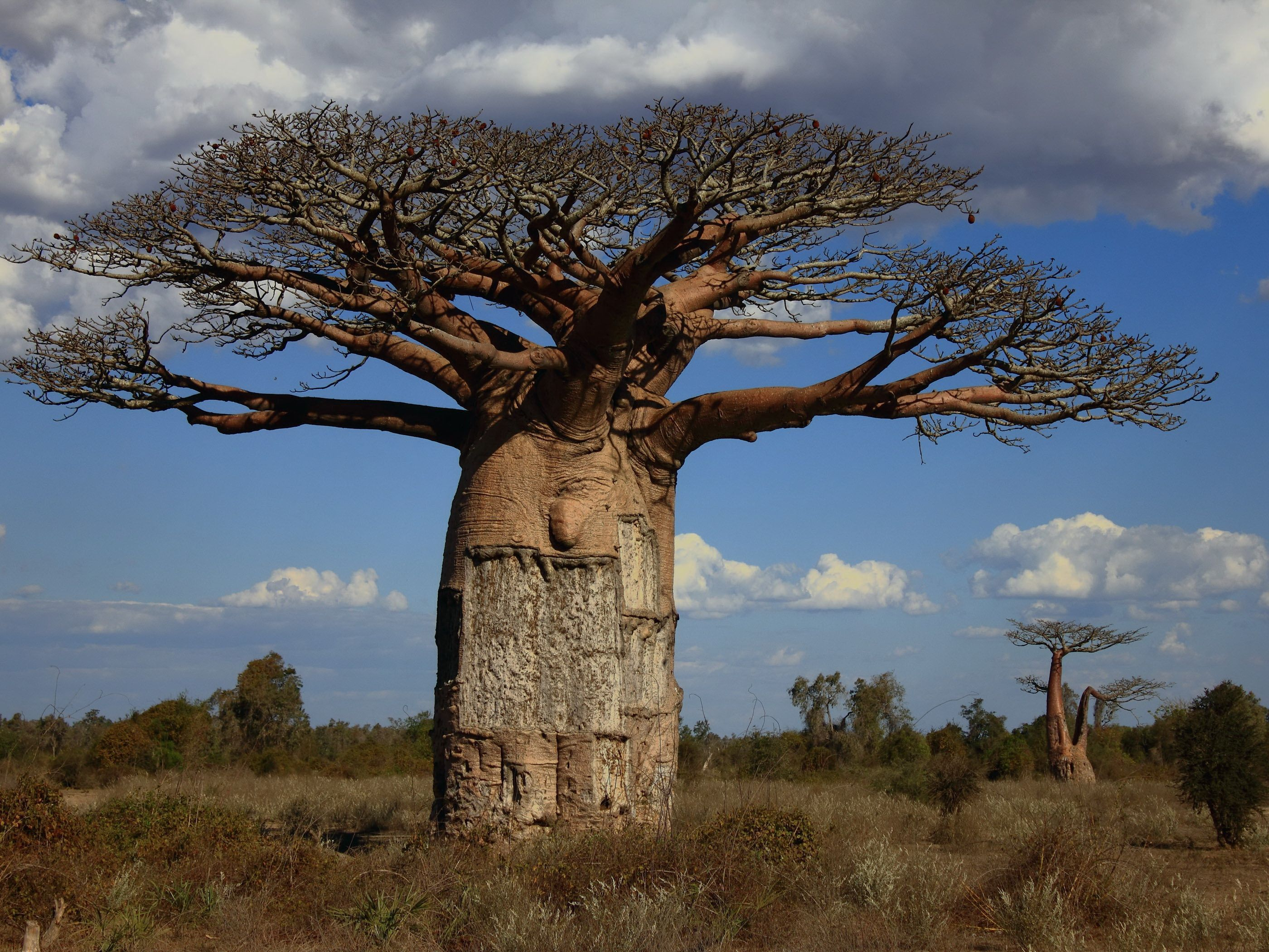 Baobab Download