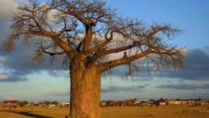 Baobab HD Background