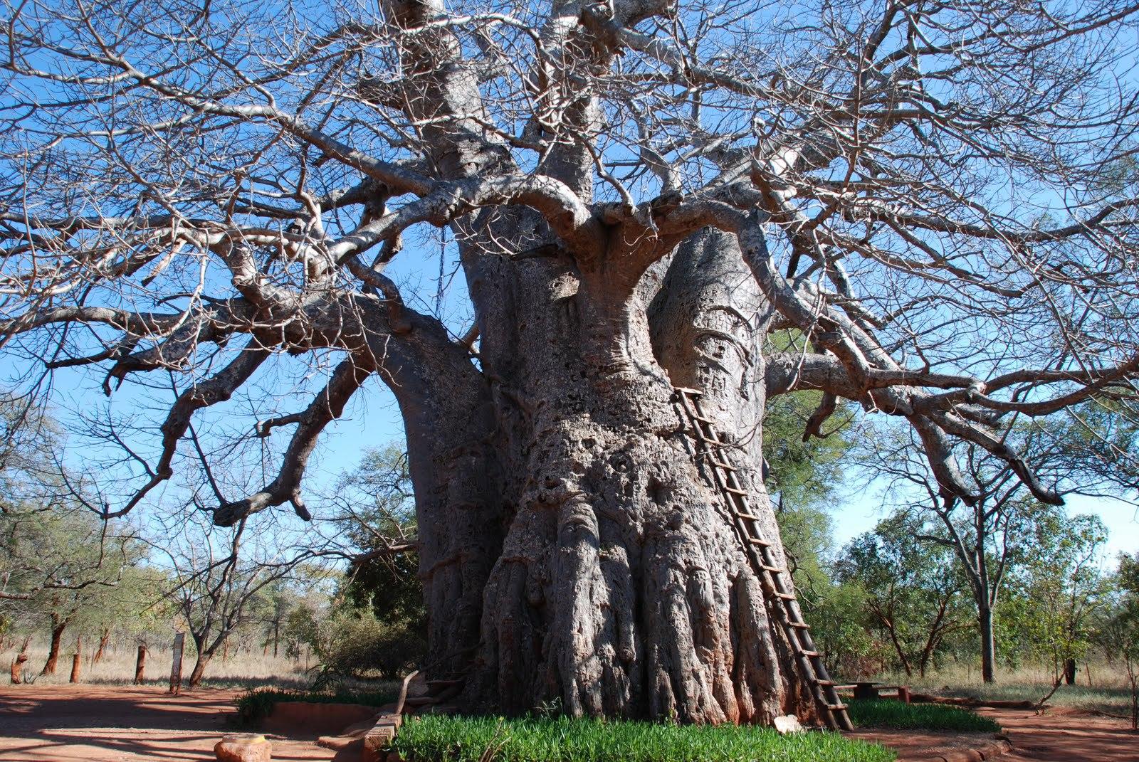 Baobab High Definition