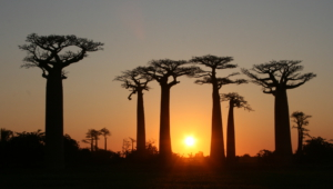 Baobab High Quality Wallpapers