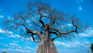 Baobab Pictures