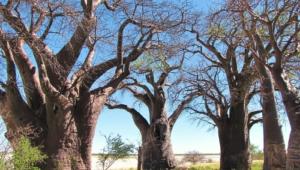 Baobab Wallpaper For Computer