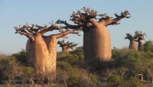 Baobab Wallpapers HD