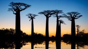 Baobab Wallpapers HQ