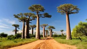 Baobab For Desktop Background