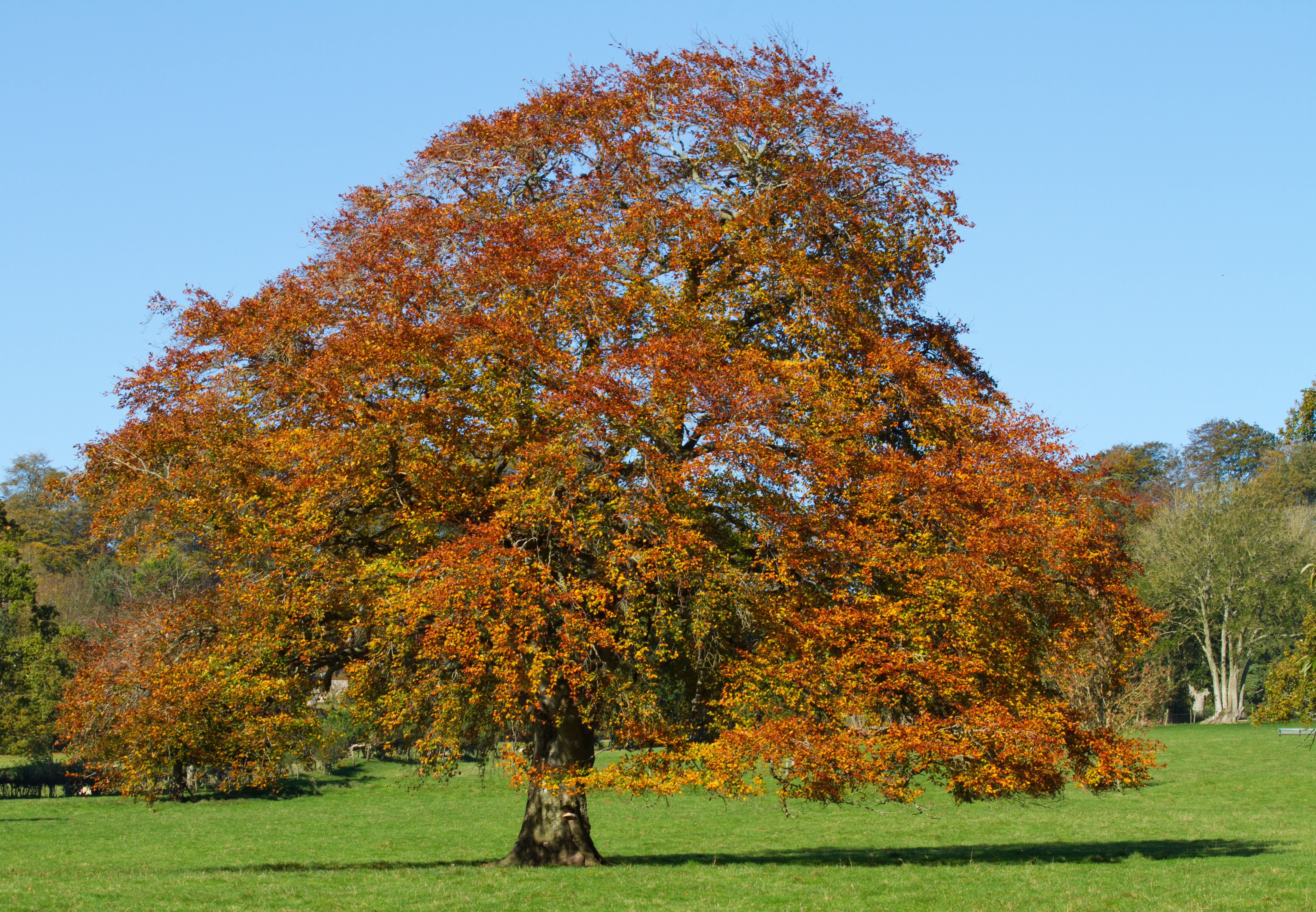 Beech Photos