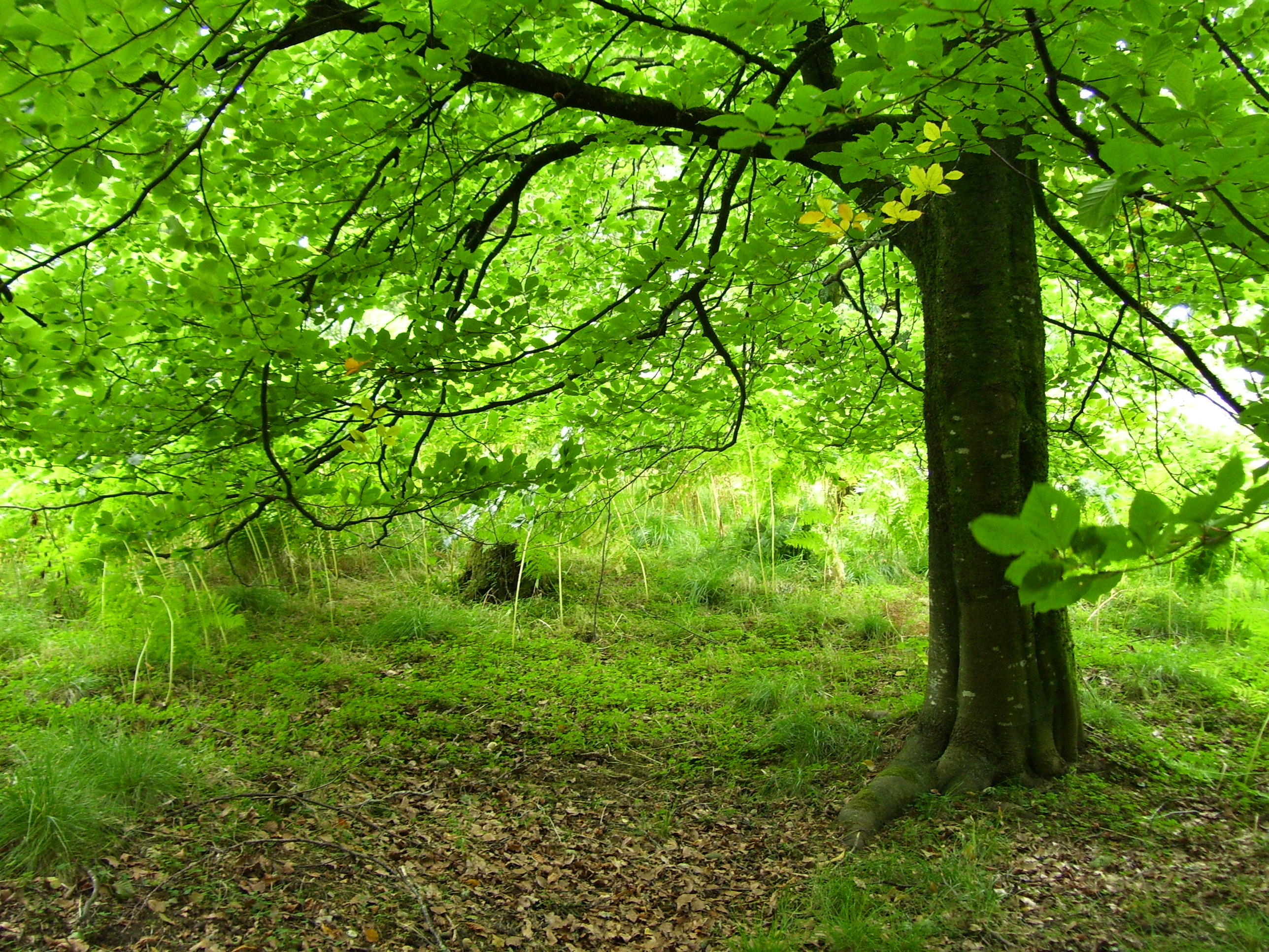 Beech Widescreen