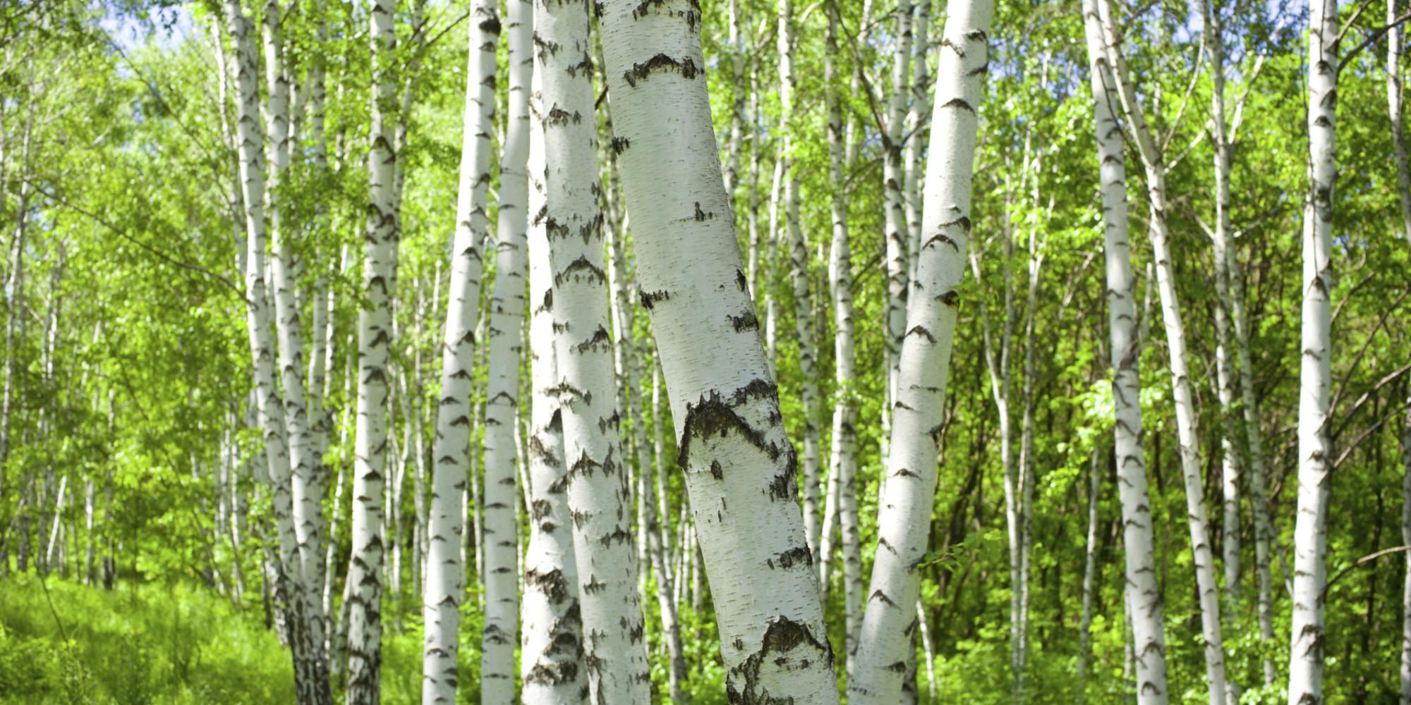 Birch 1080p