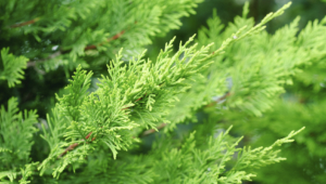 Cypress 7003