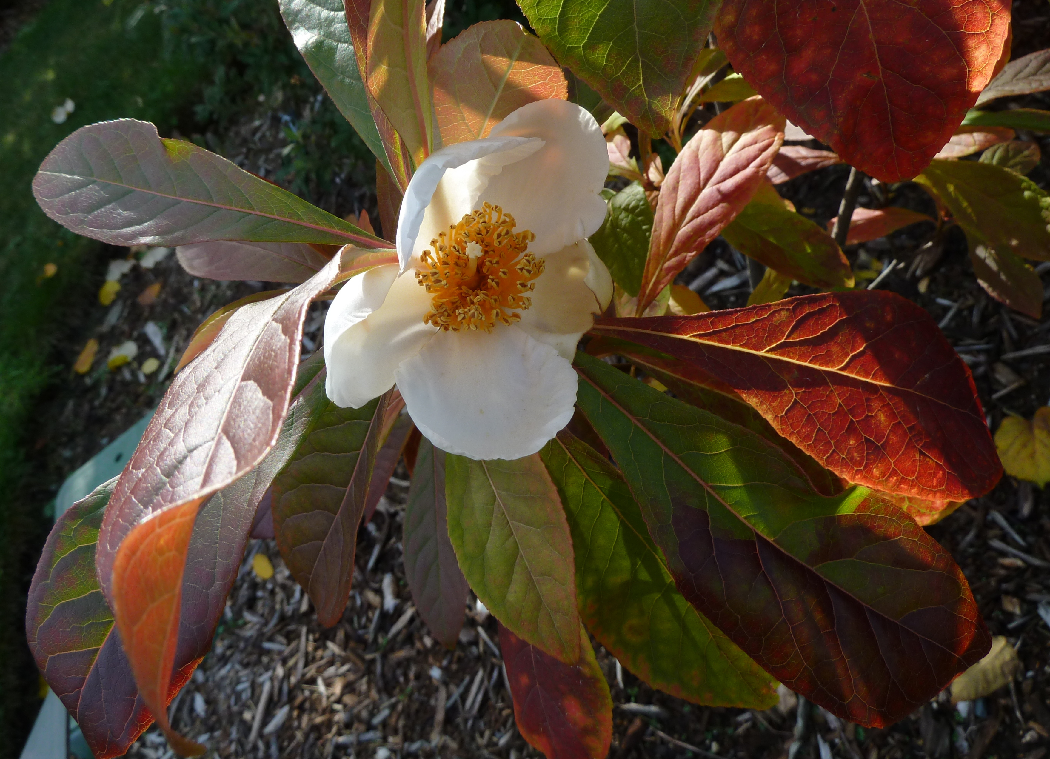 Franklinia Photos