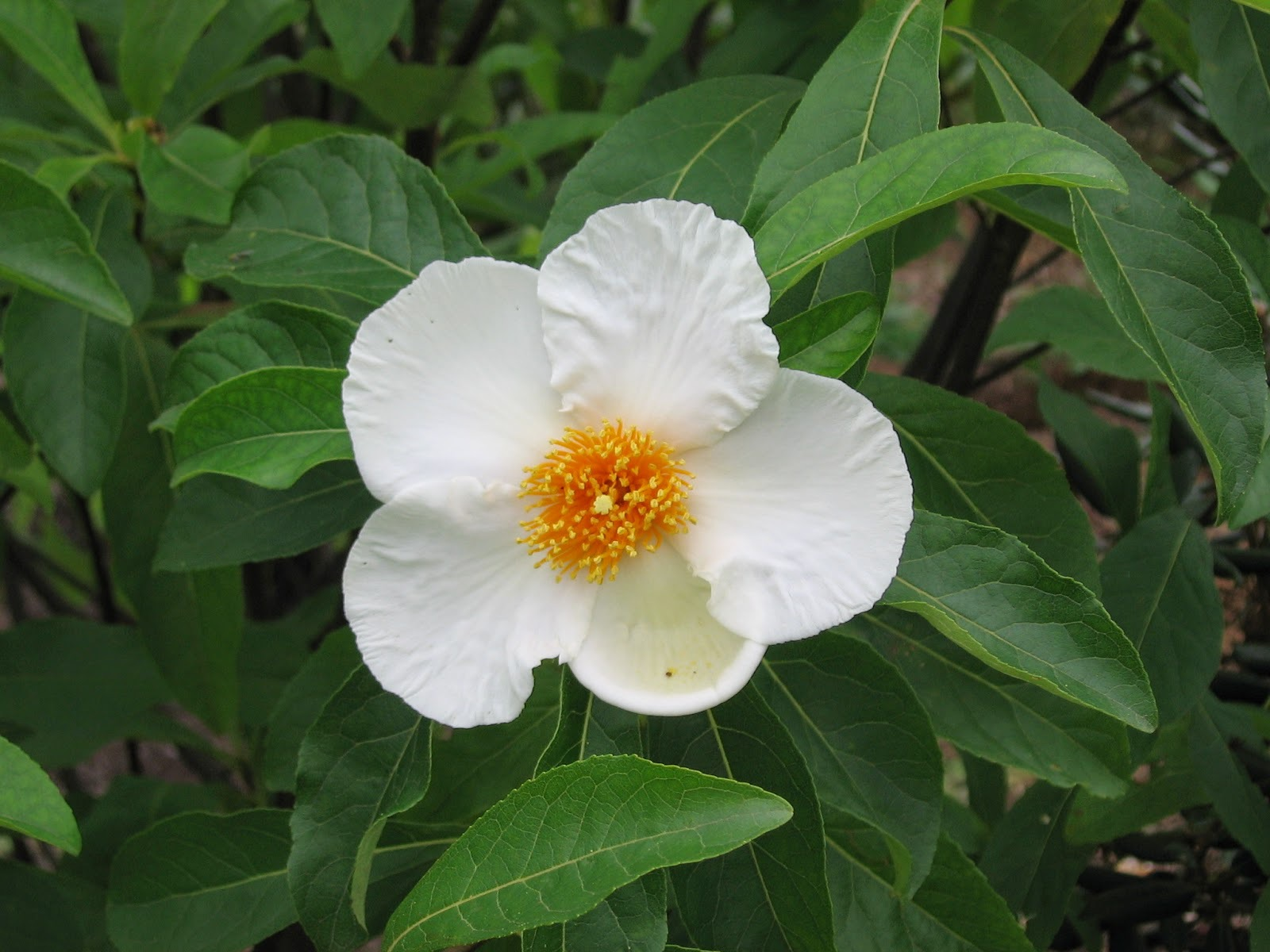 Franklinia Wallpapers HD