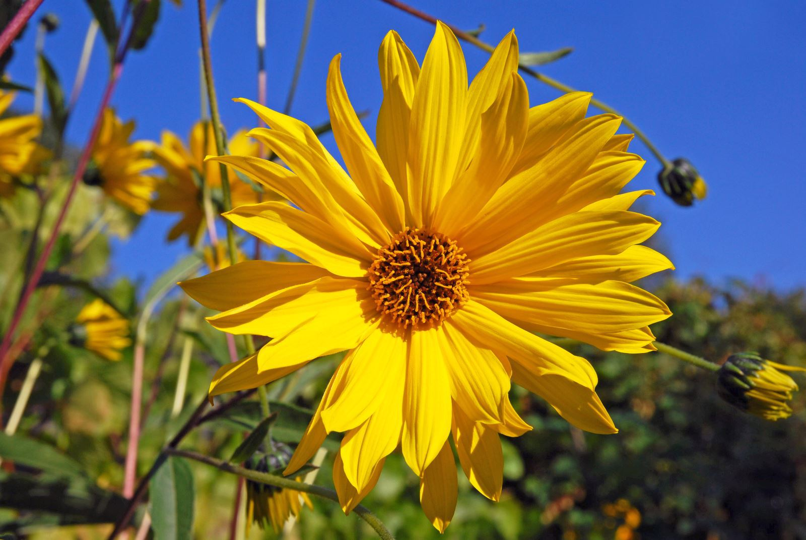 Helianthus Schweinitzii High Definition
