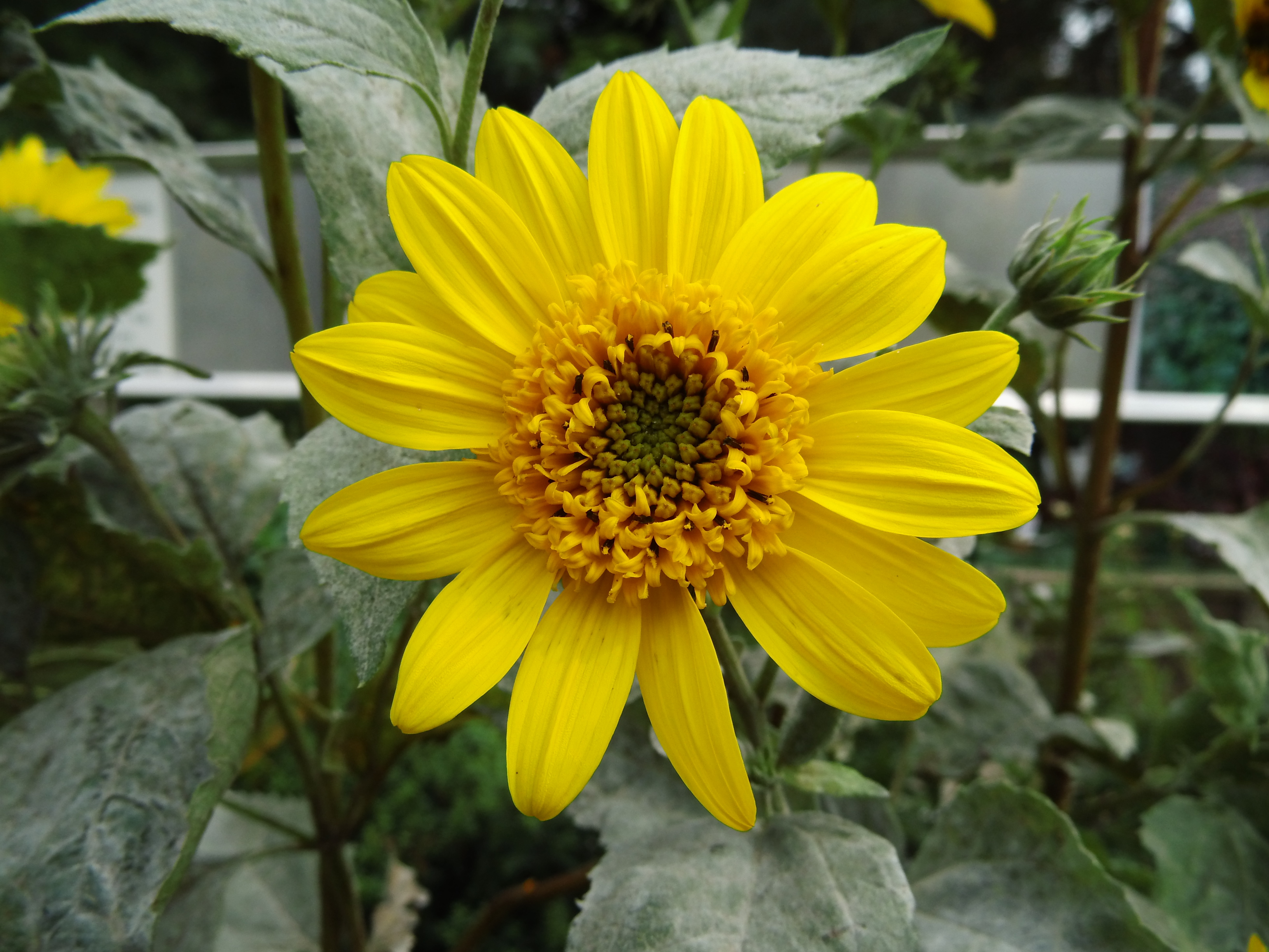 Helianthus Schweinitzii Wallpaper