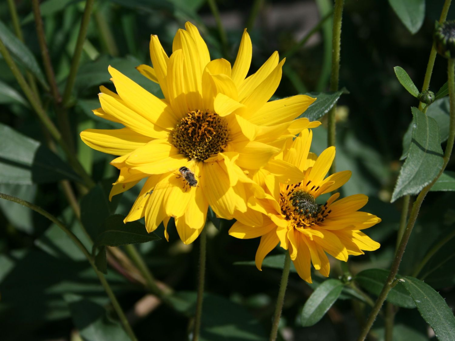 Helianthus Schweinitzii Wallpapers And Backgrounds