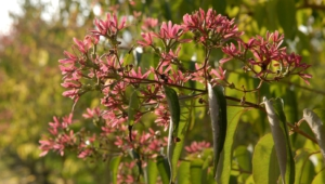 Heptacodium Miconioides HD Wallpaper
