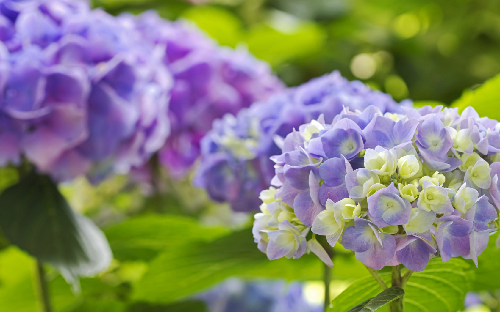 Hydrangea Wallpapers And Backgrounds