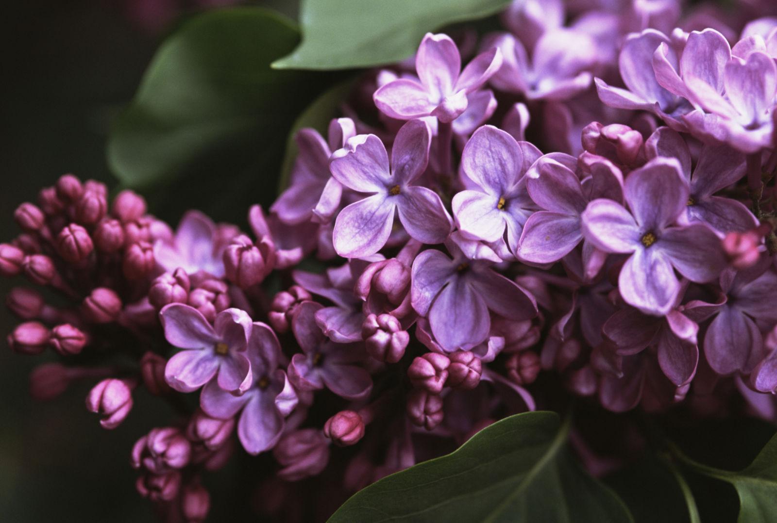 Lilac 4K