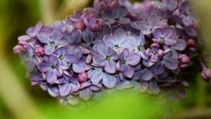 Lilac Desktop Wallpaper
