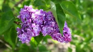Lilac HD Wallpaper