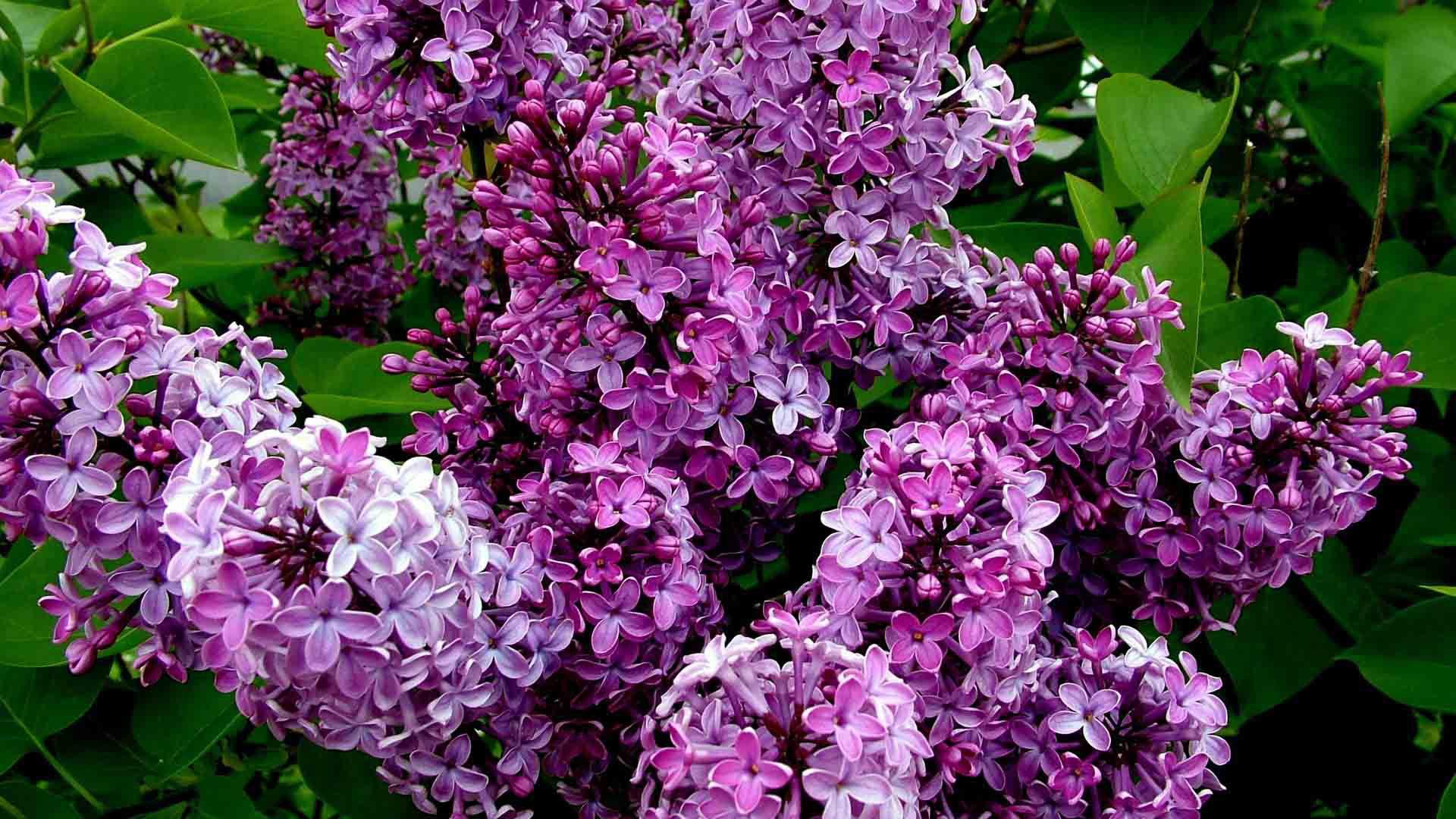 Lilac High Definition