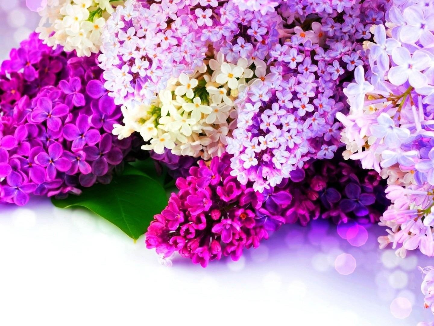 Lilac Images