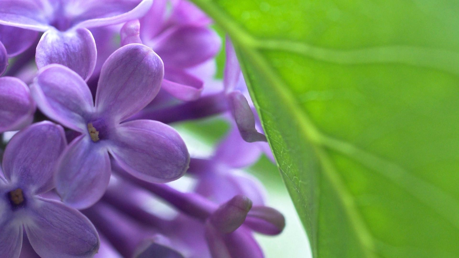Lilac Wallpapers HD