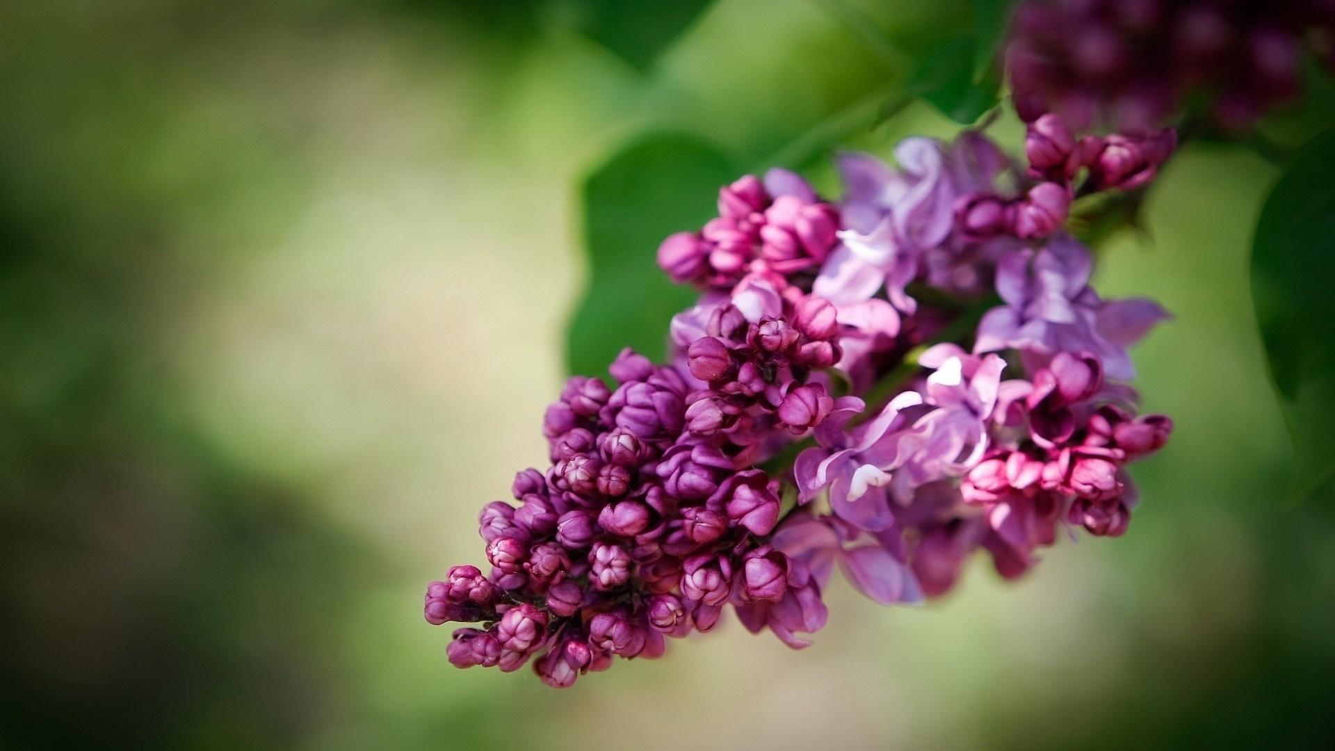 Lilac For Desktop