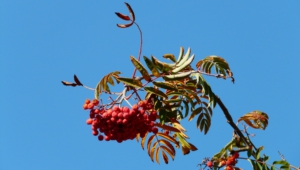 Mountain Ash HD Background