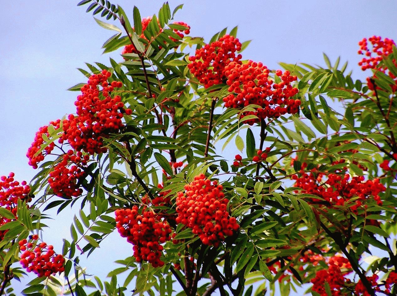 Mountain Ash High Definition Wallpapers