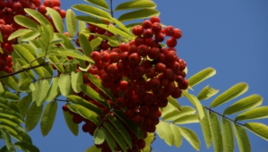 Mountain Ash Wallpaper
