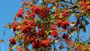 Mountain Ash Wallpapers