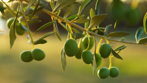 Olive HD Background