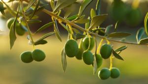 Olive HD Background