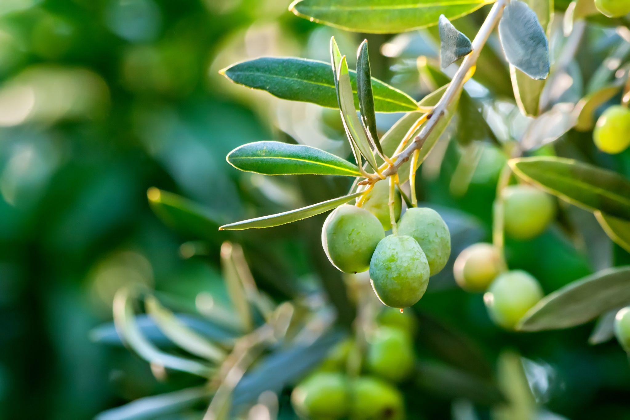 Olive HD Desktop
