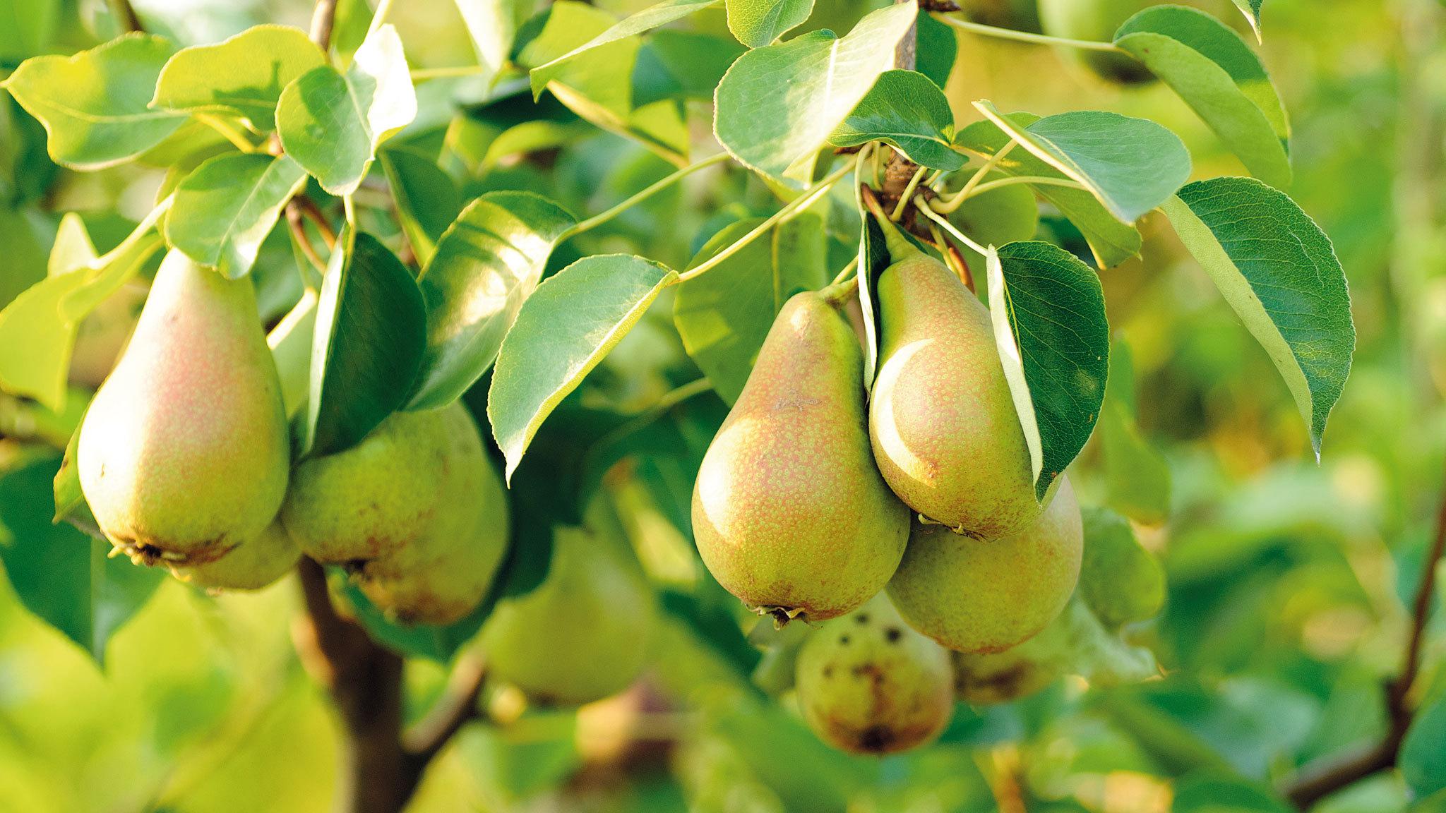 Pear Tree HD Wallpaper
