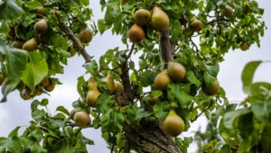 Pear Tree High Quality Wallpapers