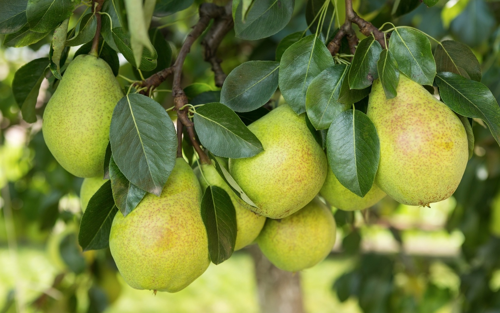 Pear Tree Images