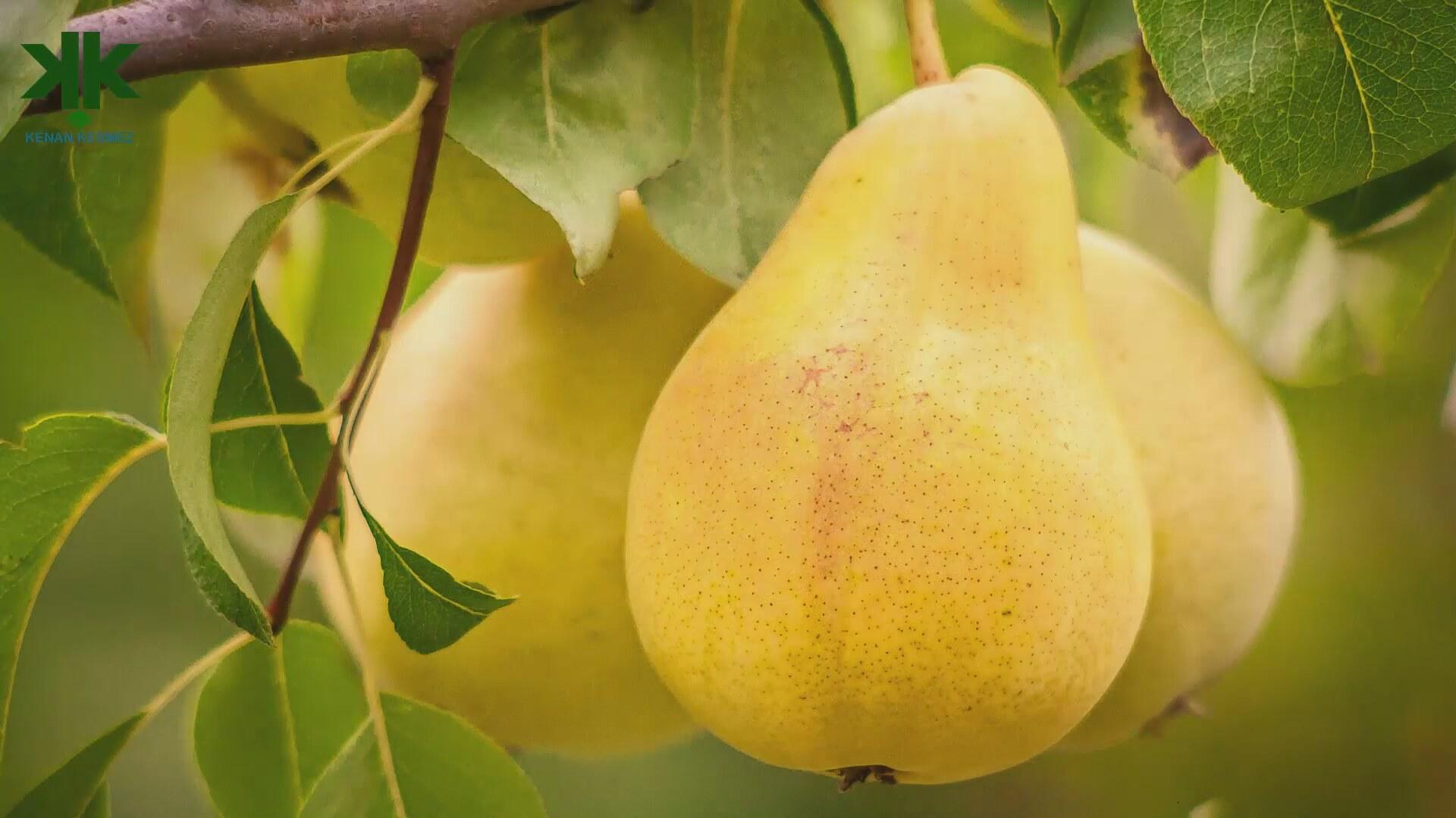 Pear Tree Photos
