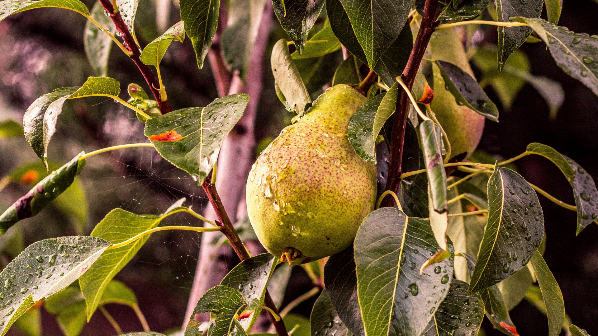 Pear Tree Wallpaper