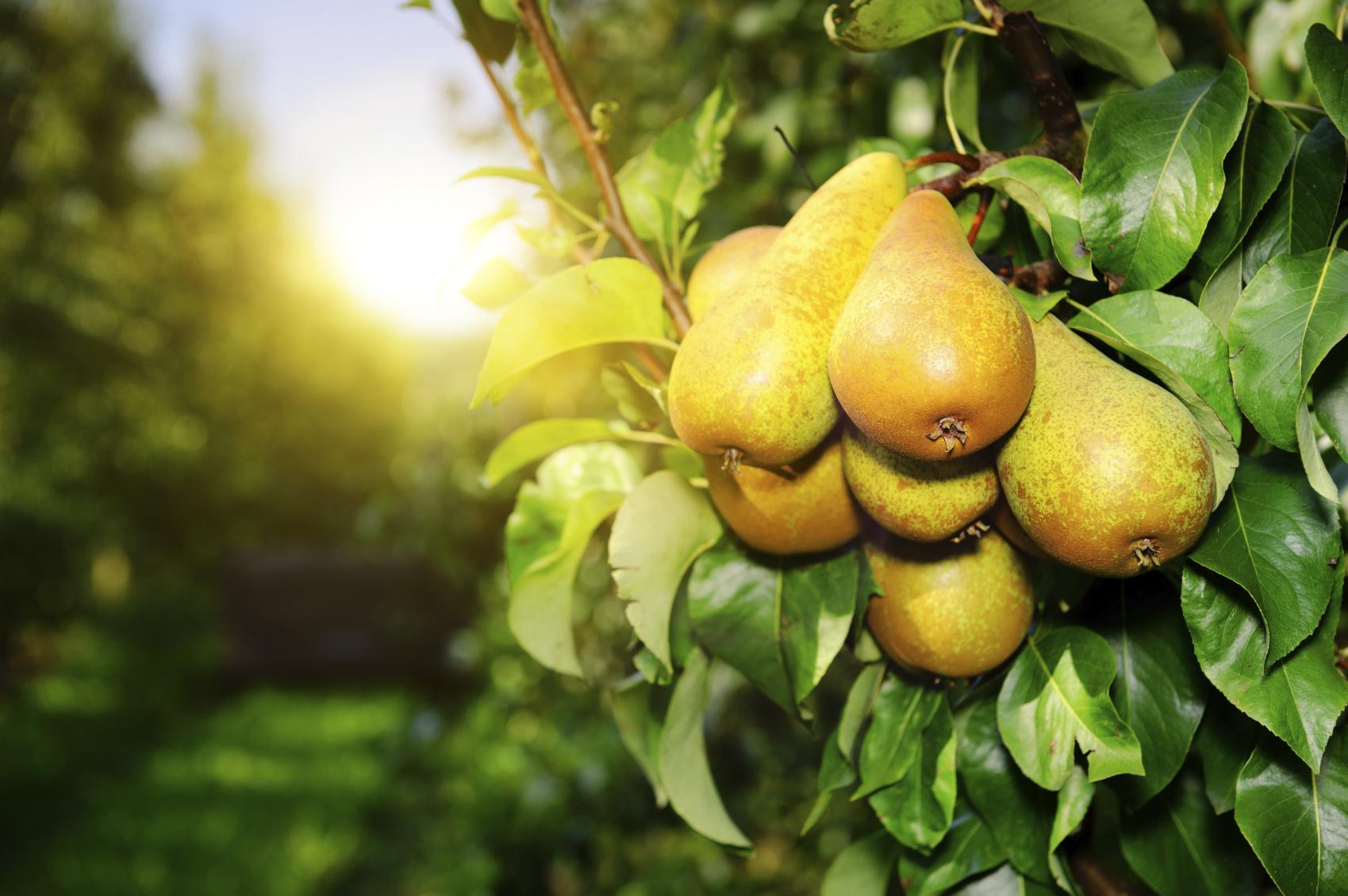 Pear Tree Widescreen