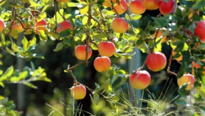 Pictures Of Apple Tree