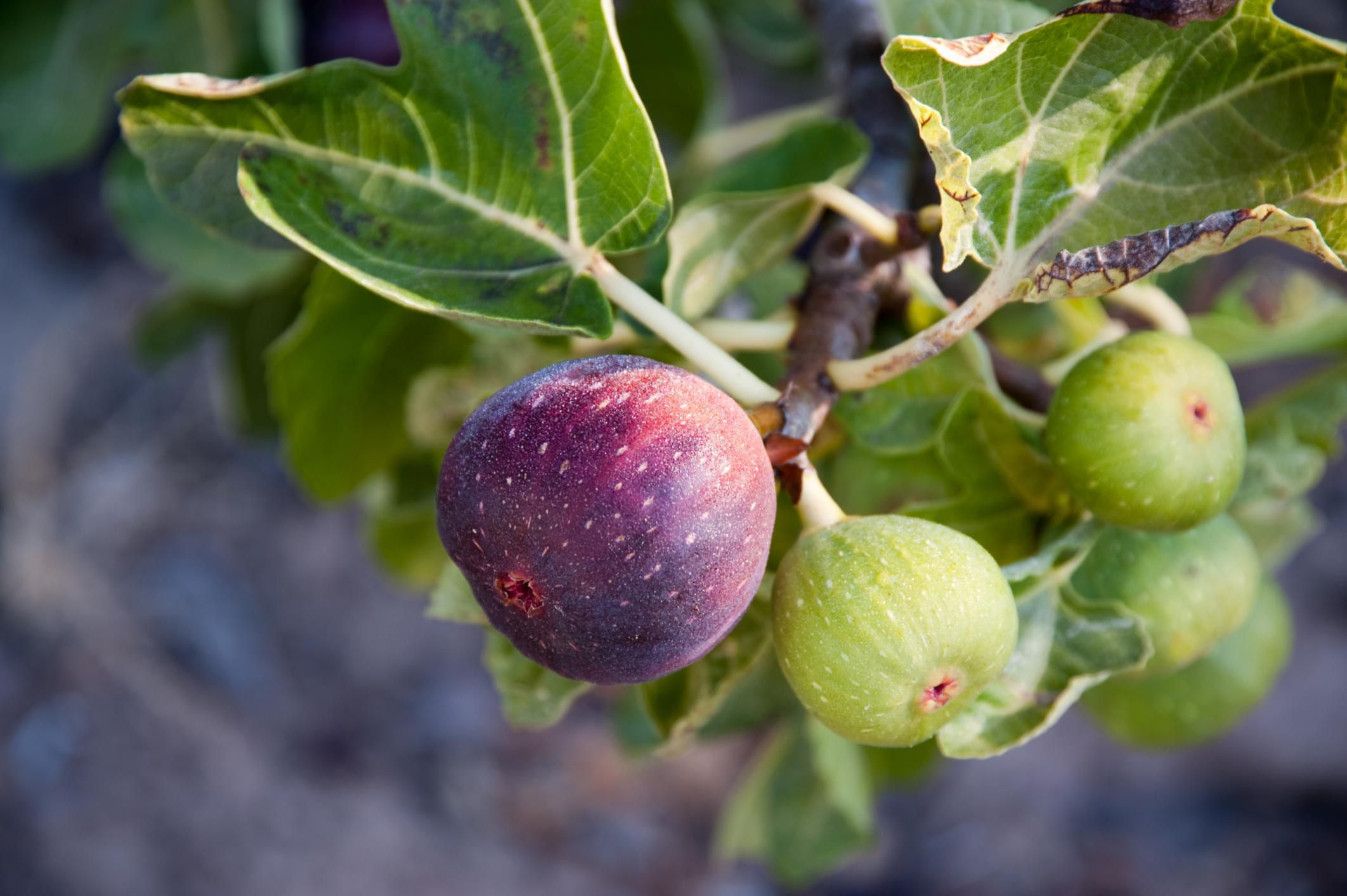 Pictures Of Fig