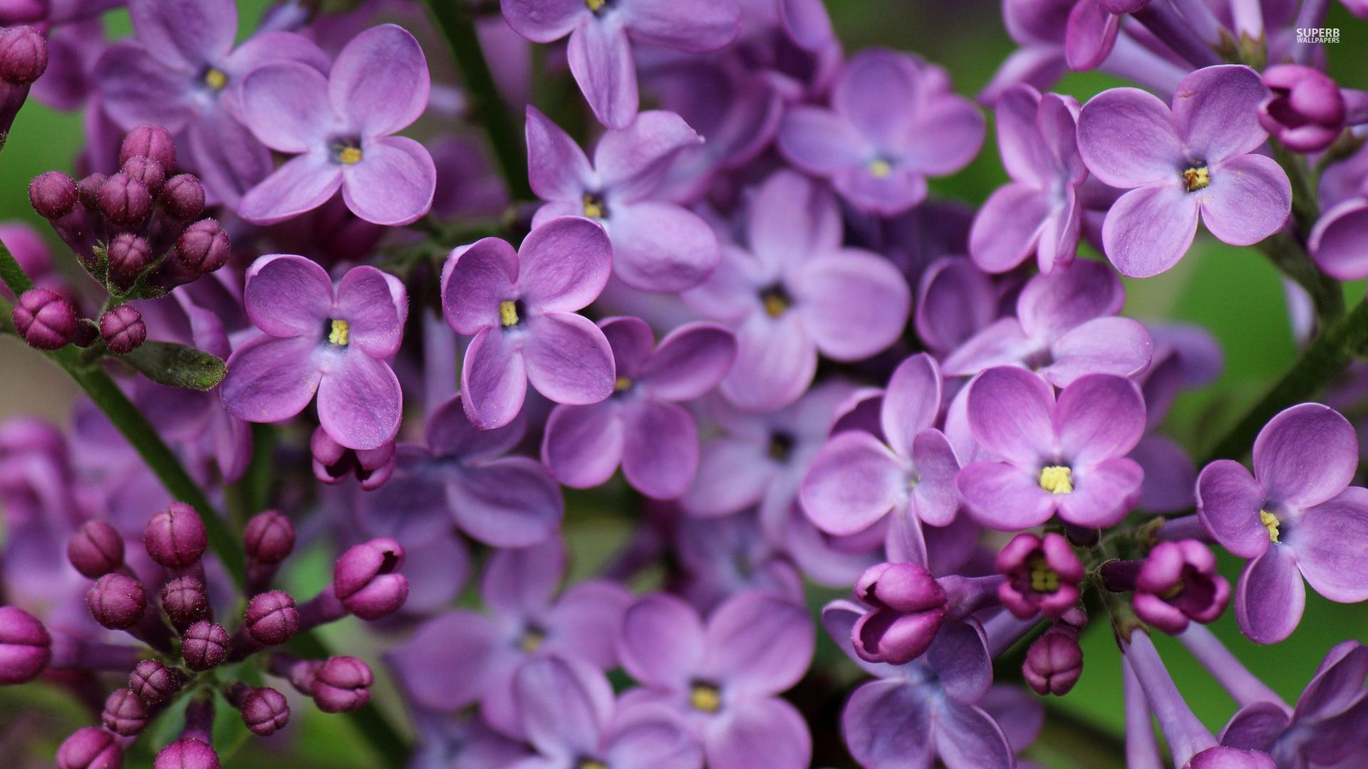 Pictures Of Lilac