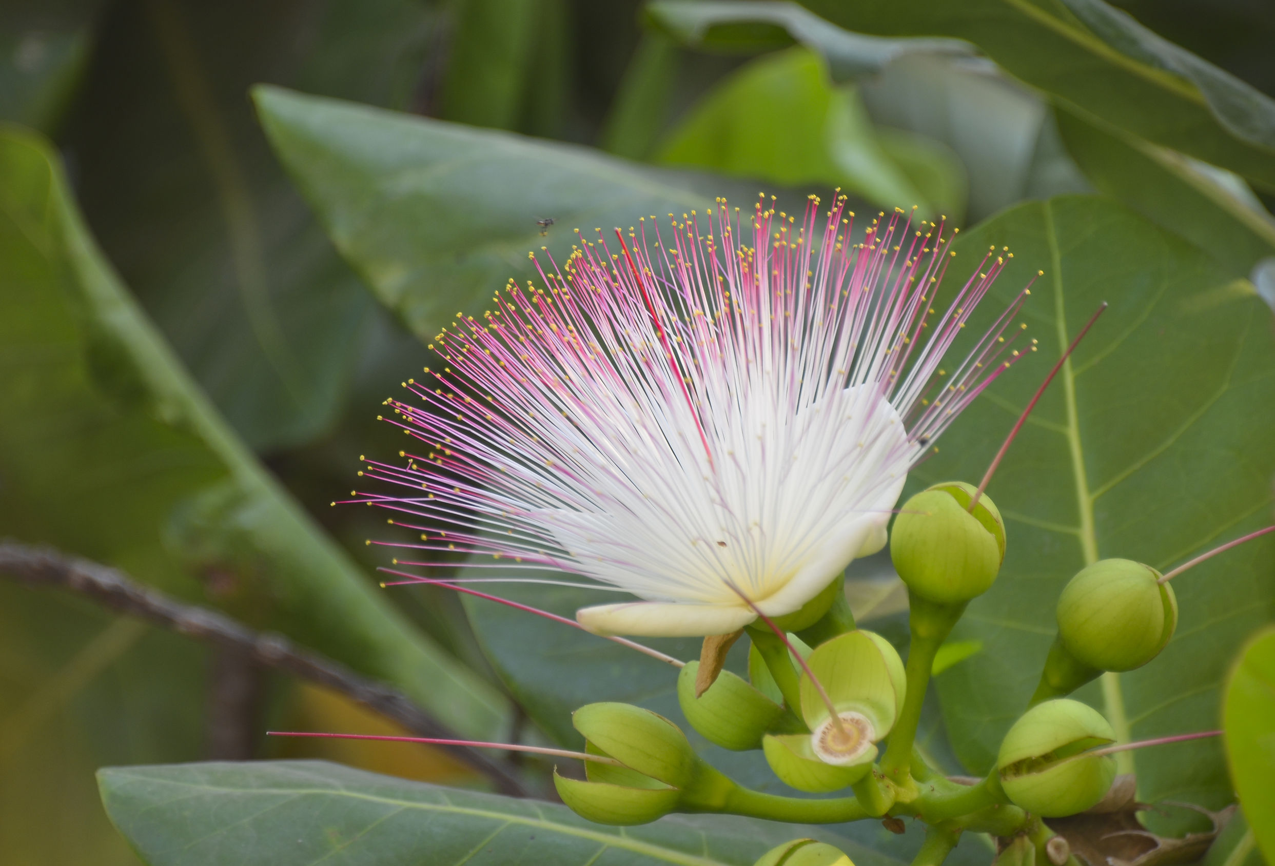 Pictures Of Sea Poison Tree