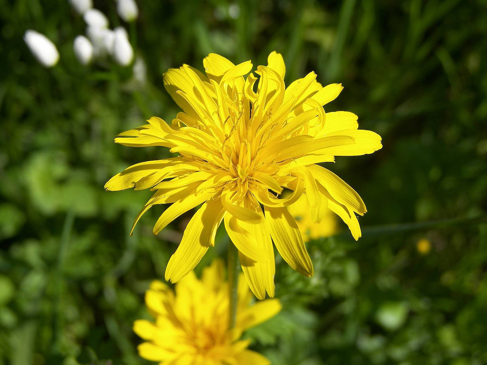 Pictures Of Snowdonia Hawkweed